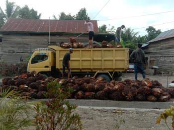 Harga TBS di Riau Naik Pekan Ini