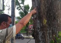 DLHK : Pohon di Simpang Arifin Achmad Pekanbaru Kena Hama
