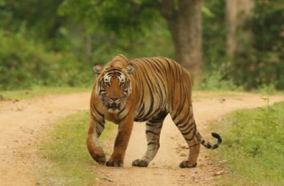 Harimau di Pelalawan serang Warga, BKSDA Riau: Korban Selamat..