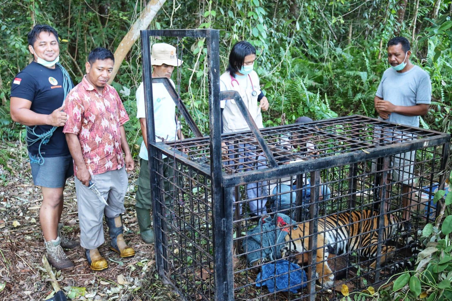 Misteri Harimau Mangsa Warga Siak